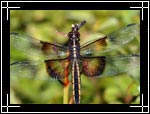 Widow Skimmer Dragonfly, �������� ���������, Libellula luctuosa - Wildlife Macro Photography Images - Macro Photo Images of Insects - Macro Pictures