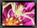 Flower Crab Spider, ��������� ����-����, Misumenops celer - Wildlife Macro Photography Images - Macro Photo Images of Insects - Macro Pictures