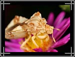 Pennsylvania Ambush Bug, Phymata pennsylvanica - Macro Photography Images - Closeup Photo Pictures of Insects