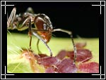 Ant, �������, Formicidae