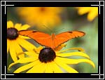 Julia Heliconian Butterfly, Dryas julia - Macro Photography Images - Closeup Photo Images of Insects