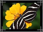 Zebra Heliconian (Zebra longwing) Butterfly, ������� �����, Heliconius charitonius
