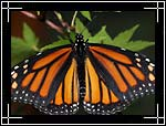 Queen Butterfly (������� ��������), Danaus gilippus - Wildlife Macro Photography Images - Macro Photo Images of Insects - Macro Pictures
